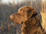 Chesapeake Bay Retriever Dog, USA Premium Photographic Print by Lynn M. Stone
