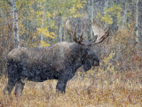 Moose Bull in Snow Storm with Aspen Trees in Background, Grand Teton National Park, Wyoming, USA Posters by Rolf Nussbaumer