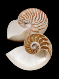 Chambered / Pearly Nautilus (Nautilus Pompilius) Shells, Indo-Pacific Photographic Print by Jane Burton