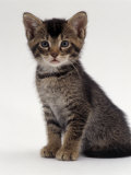 Domestic Cat, 9-Week Agouti-Tabby Male Kitten (Hybrid Wild Cat Crossed with a Blue Burmese) Print by Jane Burton
