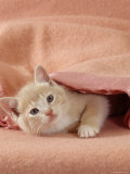 Domestic Cat, Cream Kitten Emerging from Under a Pink Blanket, Bedroom Print by Jane Burton