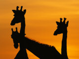 Giraffes, Silhouetted of Heads and Necks at Dawn, Botswana Savute-Chobe National Park Photographic Print by Richard Du Toit