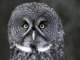 Great Grey Owl Portrait, Alaska, USA Foto van Lynn M. Stone