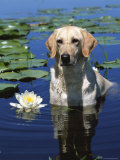 Labrador Retriever Dog in Lake, Illinois, USA Photo by Lynn M. Stone
