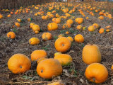 Field of Ripe Pumpkins (Cucurbita Maxima) USA Photographic Print by  Reinhard