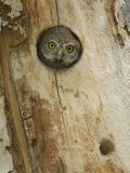 Rolf Nussbaumer - Northern Pygmy Owl, Adult Looking out of Nest Hole in Sycamore Tree, Arizona, USA Fotografická reprodukce