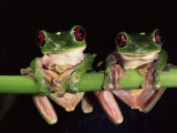 Maroon Eyed Leaf Frogs, Esmeraldas, Ecuador Photographic Print by Pete Oxford