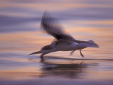 Black Skimmer Skimming at Sunset, Florida, USA Print by Rolf Nussbaumer