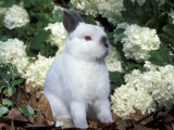 Netherland Dwarf Domestic Rabbit Photographic Print by Lynn M. Stone