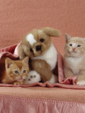 Domestic Cat, Ginger and Cream Kittens with Toy Puppy in a Pink Blanket, Bedroom Prints by Jane Burton