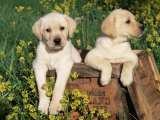 Two Labrador Retriever Puppies, USA Photographic Print by Lynn M. Stone