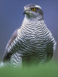 Northern Goshawk, Male Close-Up, Scotland Posters by Pete Cairns