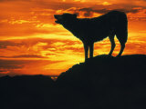 Grey Wolf, Howling at Sunset Photographic Print by Kim Taylor