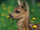 Roe Deer Fawn (Capreolus Capreolus) Europe Print by Reinhard 