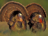 Wild Turkey Males Displaying, Texas, USA Prints by Rolf Nussbaumer