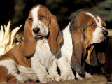 Two Bassett Hound Pups Prints by Lynn M. Stone