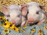 Two Domestic Piglets, Mixed-Breed Fotodruck von Lynn M. Stone