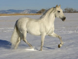 Grey Andalusian Stallion Trotting Through Snow, Colorado, USA Stampa fotografica di Carol Walker