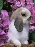 Young Lop Eared Domestic Rabbit, USA Poster par Lynn M. Stone