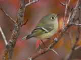 Ruby Crowned Kinglet, Adult in Black Hawthorn, Grand Teton National Park, Wyoming, USA Papier Photo par Rolf Nussbaumer