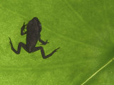 Common Frog Juvenile, Viewed Through Leaf, Belgium Posters by Philippe Clement