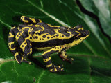Harlequin Frog, Amazonia, Ecuador Photographic Print by Pete Oxford