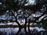 Oak Tree Silhouette at Sunset, Texas, USA Posters by Rolf Nussbaumer