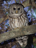 Barred Owl in Tree, Corkscrew Swamp Sanctuary Florida USA Premium Photographic Print by Rolf Nussbaumer