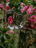 Domestic Cat, Tabby Kitten Among American Pillar Roses Photographic Print by Jane Burton