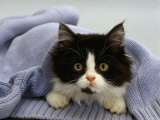 Domestic Cat, Black-And-White Semi-Longhaired Kitten in Blue Pullover Photo by Jane Burton