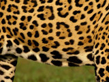 Close up of Belly of Jaguar, Mato Grosso, Pantanal, Brazil Prints by Staffan Widstrand