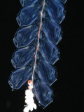 Deep Sea Siphonophore, Hydrozoan Cnidarian, 2503 Ft, Gulf of Maine Poster by David Shale
