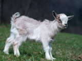 Pygmy Domestic Goat Kid Photographie par Reinhard 