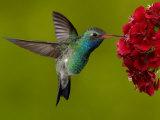 Broad-Billed Hummingbird, Male Feeding on Garden Flowers, USA Affiches par Dave Watts