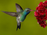 Broad-Billed Hummingbird, Male Feeding on Garden Flowers, USA Print by Dave Watts