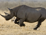 Black Rhinoceros, Running, Namibia Prints by Tony Heald