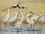 Sandhill Cranes Displaying, Bosque Del Apache National Park, NM, USA Photographic Print by Rolf Nussbaumer