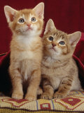 Domestic Cat, Portrait of Ginger and Spotted-Tabby Kittens Under Red Velours Curtain Photo by Jane Burton