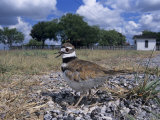 Killdeer Plover, Shading Eggs on Nest from the Sun, Welder Wildlife Refuge, Sinton, Texas, USA Poster par Rolf Nussbaumer