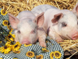 Two Domestic Piglets, Mixed-Breed Prints by Lynn M. Stone