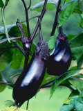 Eggplants / Aubergines (Solanum Melongena) Photo by  Reinhard
