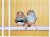 Spotted Sided Zebra Finches, Pair in Cage (Poephila / Taeniopygia Guttata) Photographic Print by  Reinhard