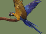 Blue and Yellow Macaw, Landing on a Perch Photographic Print by Jane Burton