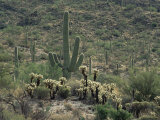 Saguaro National Park, Arizona, with Saguaro Cactus and Silver Cholla Poster by Rolf Nussbaumer