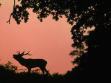 Red Deer Stag Calling at Sunset, New Forest, Hampshire, England Premium Photographic Print by Laurent Geslin