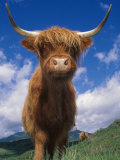 Highland Cattle Bull Portrait, Scotland, UK Póster por Niall Benvie