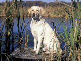 Golden Labrador Retriever Dog Portrait, Sitting by Water Photographic Print by Lynn M. Stone
