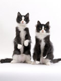 Domestic Cat, Two Black-And-White Fluffy Kittens, Male Siblings Posters by Jane Burton