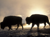 Two Bison Silhouetted Against Rising Sun, Yellowstone National Park, Wyoming, USA Photographic Print by Pete Cairns