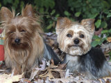 Yorkshire Terrier Dogs, One Clipped, Illinois, USA Posters by Lynn M. Stone
